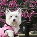写真: はなと寒緋桜