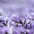 写真: 紫の桜