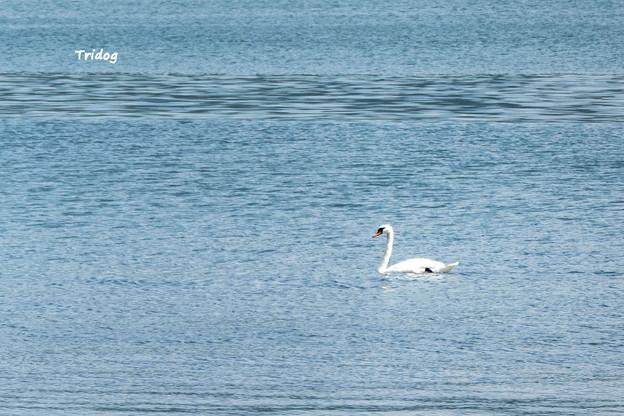 湖面を泳ぐ
