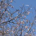 写真: 10月桜