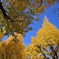 Photos: 青空と銀杏