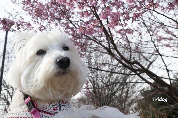 オカメ桜とはな