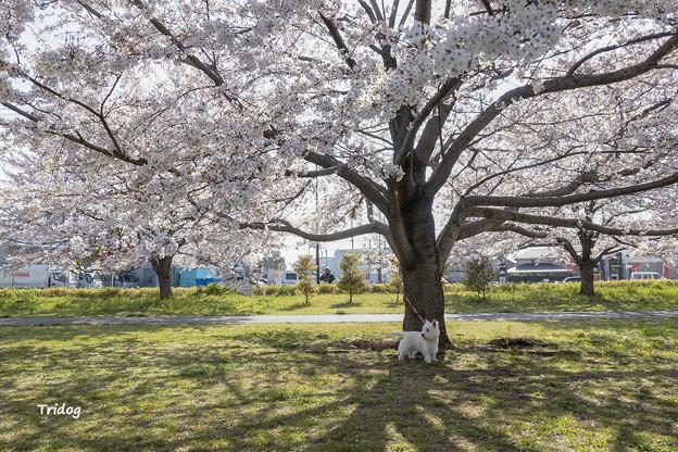 桜傘の下で
