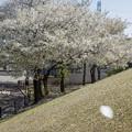 Photos: 白い花びら