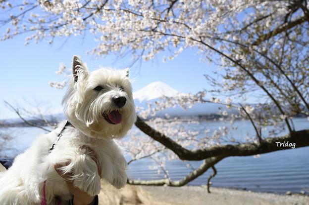 富士山と桜とはな