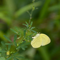 Photos: 黄色い蝶