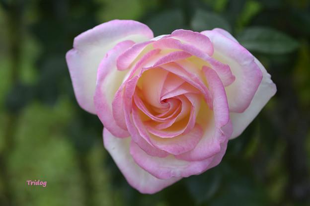 気品のバラ