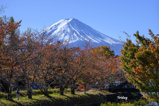 桜紅葉と富士山