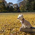 Photos: 黄色い散歩道
