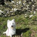 Photos: 白い桜と一緒に
