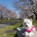 Photos: 桜とはな