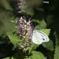 Photos: 白い蝶
