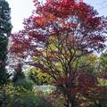 Photos: 紅葉の木