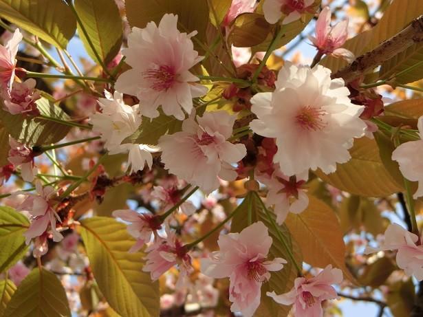 39日吉桜