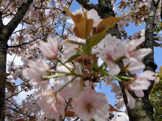 45大沢桜