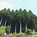 写真: 百年杉