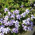 シバザクラ 青紫