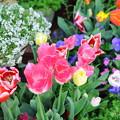 写真: 2018春の庭-7