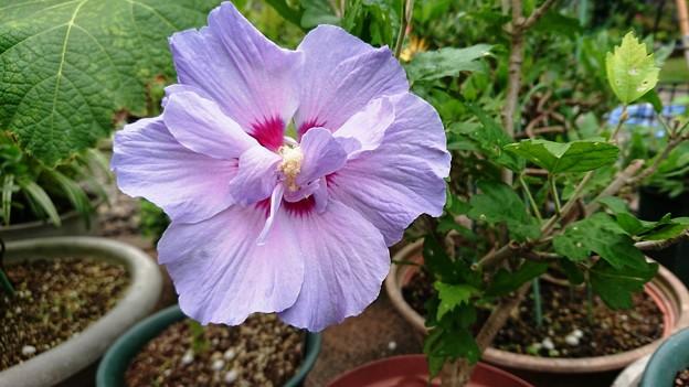 ムクゲ 紫盃