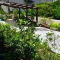 写真: 2018年夏の庭6