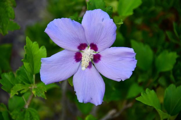 ムクゲ・紫盃