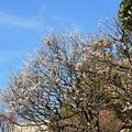写真: 青空に映える白梅