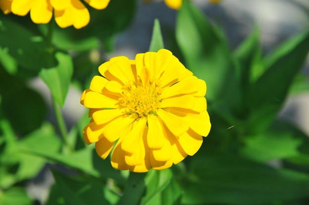 ヒャクニチソウ 黄