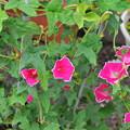 キキョウ咲きアサガオ
