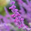 Photos: フワフワの花弁