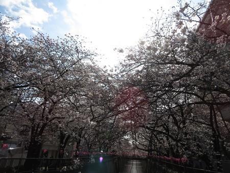 2018.3.24 目黒川の桜