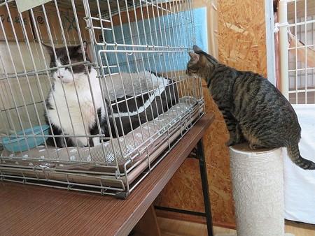 あまおう「みゃうおじちゃん、お見舞いに来たよー」 みゃう「もうオレの猫生、オワッタ・・・」