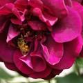 薔薇&ハッチ
