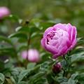 写真: 芍薬(春の粧)