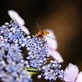 紫陽花とアブちゃん 3