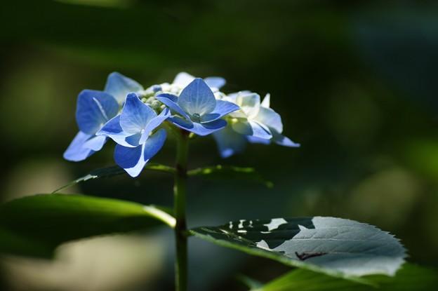 紫陽花(ブルースカイ)