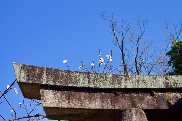 Photos: 鳥居に梅花
