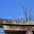 写真: 鳥居に梅花