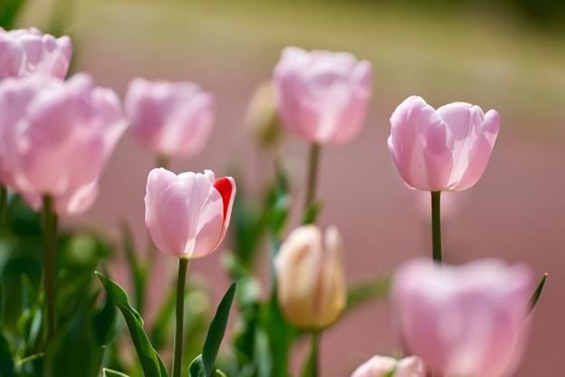 写真: ピンクちゃん