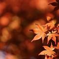 写真: 春もみじ