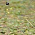 写真: チョウトンボ 2
