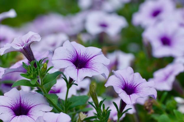 Photos: 夏の花 2