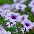 写真: 夏の花 2