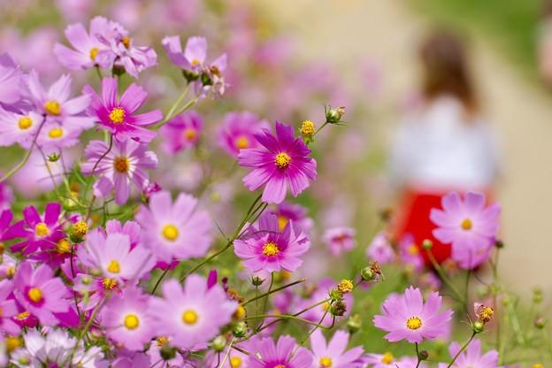 写真: 秋桜 3