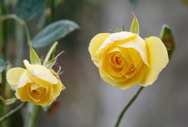 写真: 冬薔薇