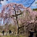 写真: 出水の桜