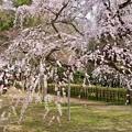 写真: 近衛邸跡の桜 2