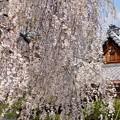 Photos: しだれ桜 2