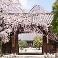 Photos: 大門と枝垂れ桜