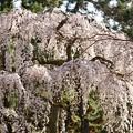 Photos: 桜 3-2