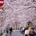 Photos: 桜 7